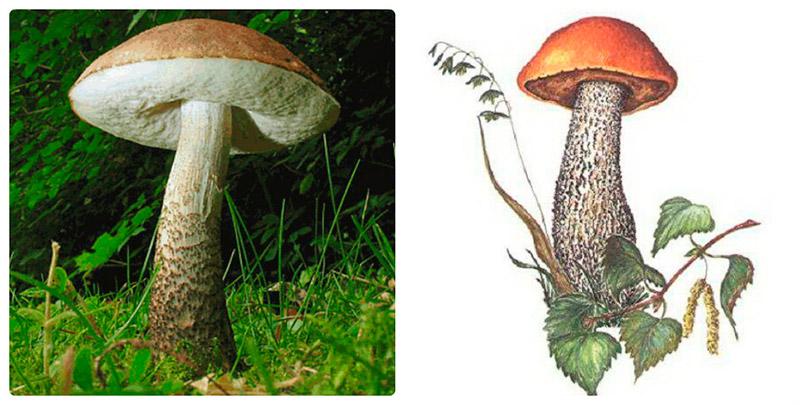 Сообщение про гриб подберезовик, 2 класс. Окружающий мир