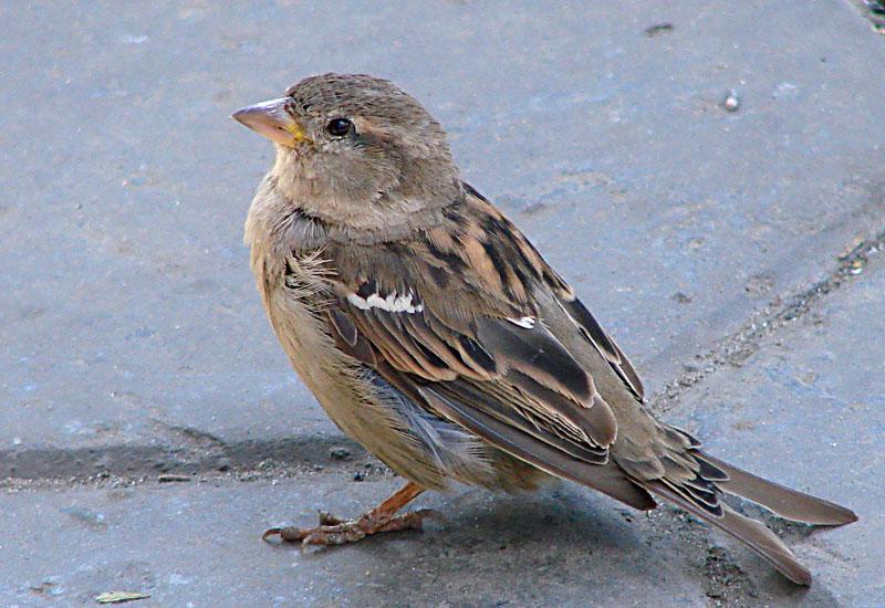 Сообщение о птице воробей