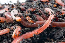 Как разводить дождевых червей на приусадебном участке