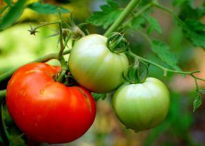 Болезни помидор. Борьба с болезнями помидоров