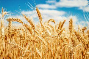Рассказ про пшеницу детям, 2-3 класс. Окружающий мир