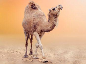 Челябинский фермер доказал: верблюд эффективнее лошади даже в ... | 259x348