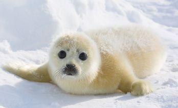 Доклад для детей про тюленя 1505