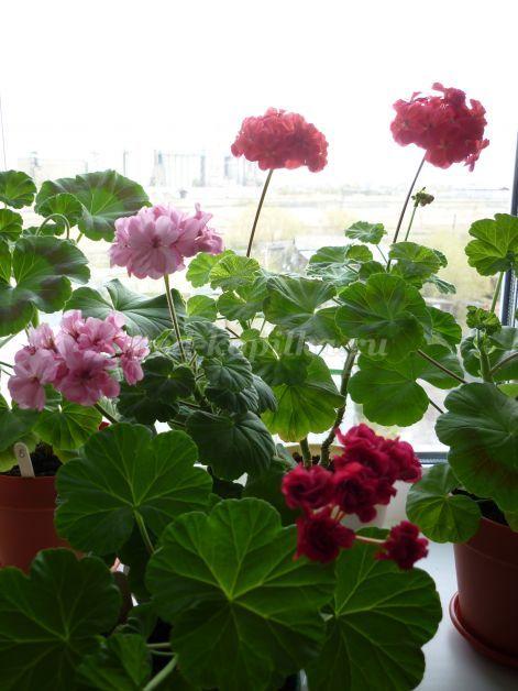 Пеларгония из семян: когда сажать, чтобы летом цвела